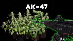 AK-47 - legendarna odmiana marihuany