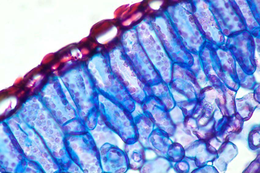 marihuana pod mikroskopem10