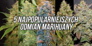 5 najpopularniejszych odmian marihuany, które można kupić w postaci nasion