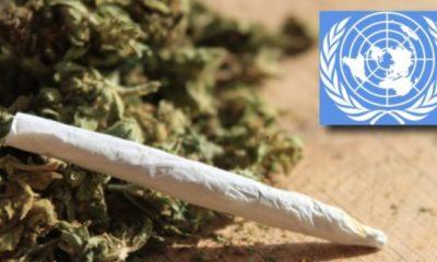 światowa-organizacja-zdrowia-legalizacja-narkotyków-marihuany