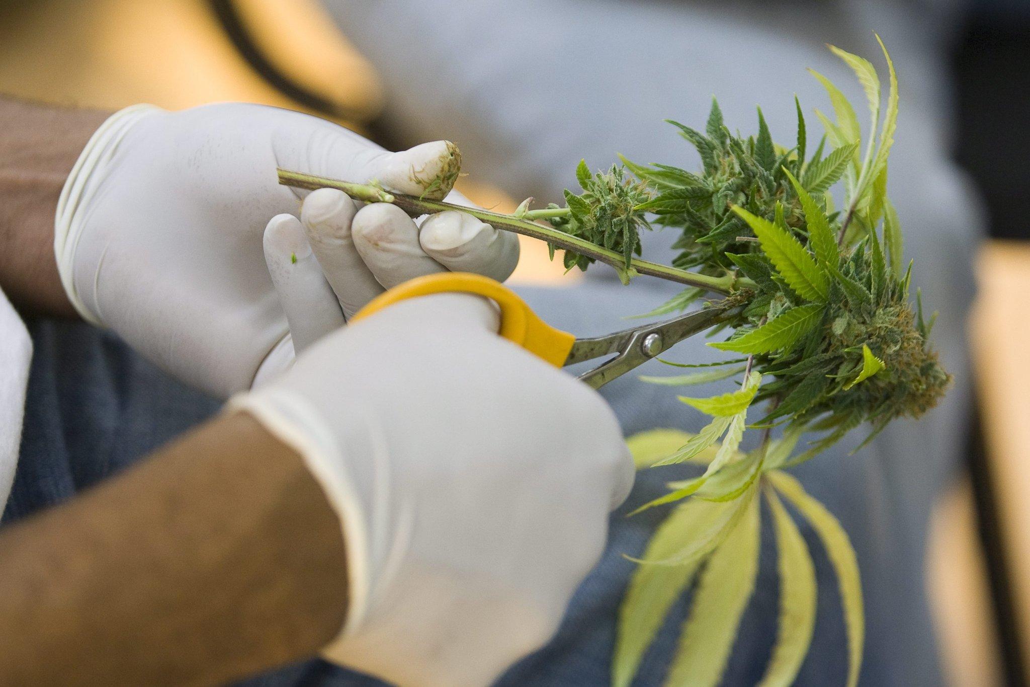 marihuana-kalifornia-medyczna-za-darmo-dla-biednych