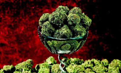 marihuana-najmocniejsze-odmiany
