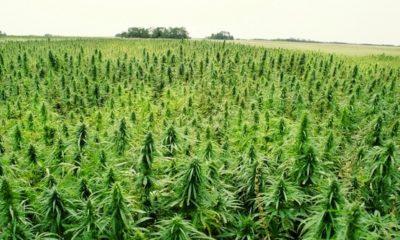 marihuana-konopie-kradziez-projekt-badawczy