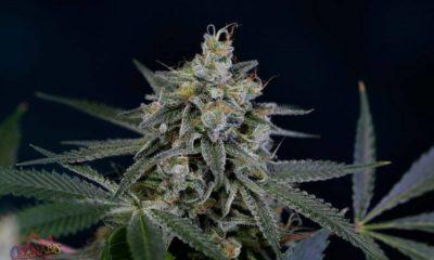 najlepsze-odmiany-marihuany-2014