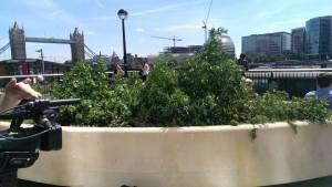 konopie-rosna-w-londynie-marihuana