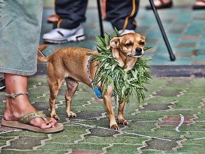 litwa-marihuana