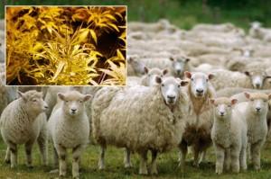 owce-zjadly-marihuane
