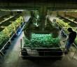przemysl-marihuany