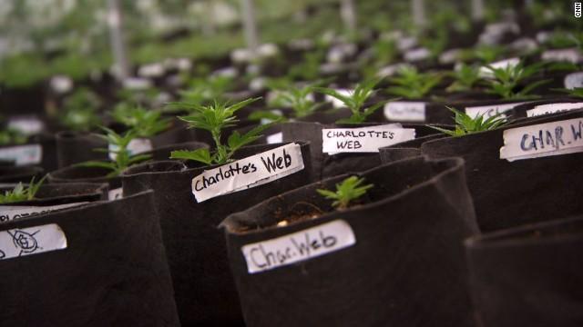 charlottes-web-marihuana
