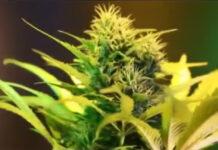 jak-rosna-konopie-indyjskie-marihuana