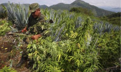 meksyk-plantacja-marihuany