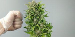Ranking najbardziej wydajnych, automatycznych odmian marihuany