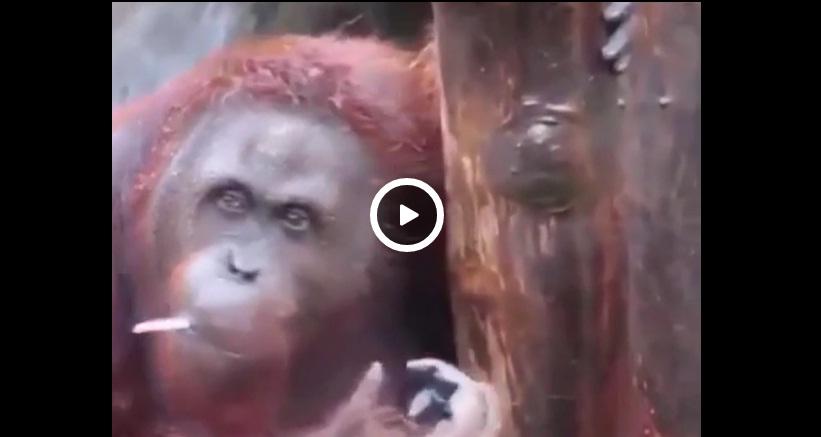 Orangutan pali jointa z marihuana