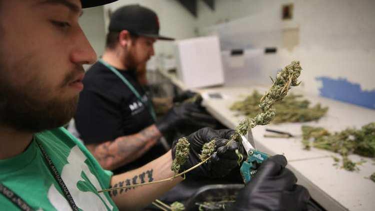 Przemysł marihuany jest najszybciej rozwijającym się przemysłem w USA
