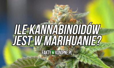 Ile kannabinoidów jest w marihuanie