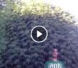 najwieksza-roslina-krzak-marihuany