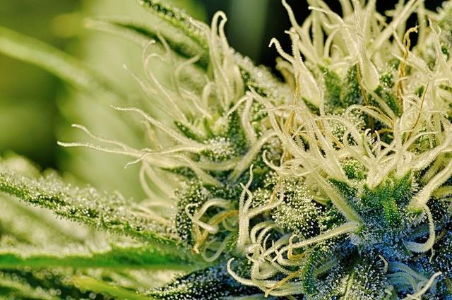 rozna-moc-marihuany