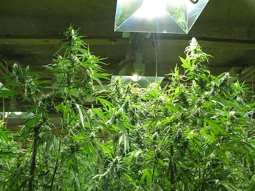 ukryta-hodowla-marihuany-7