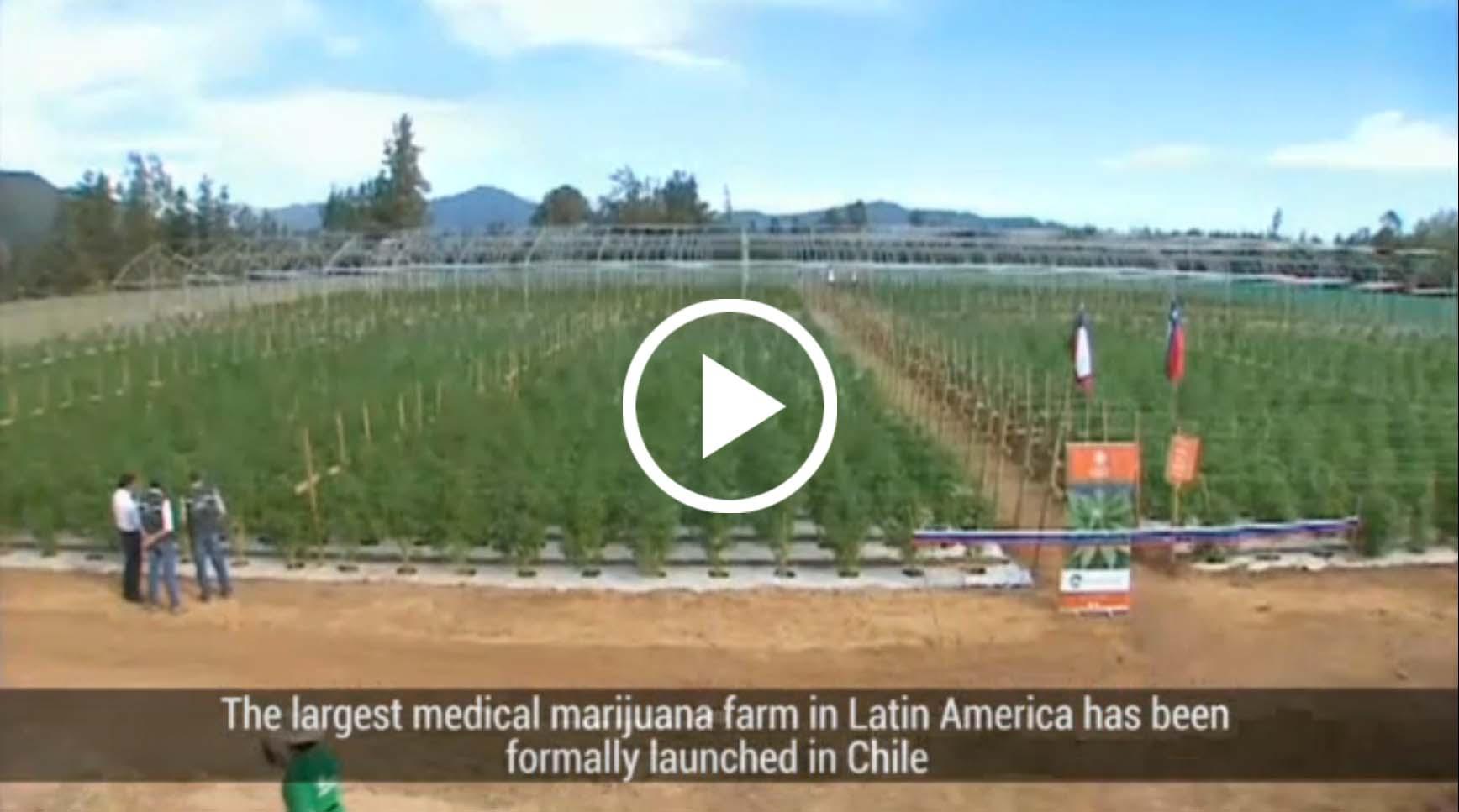 Chile największa plantacja medycznej marihuany otwarta