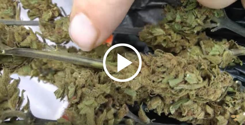 ceny marihuany na jamajce