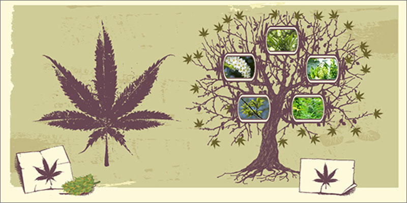 chmiel-marihuana