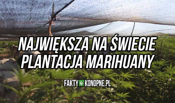 największa plantacja marihuany na świecie
