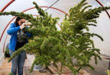 urugwaj: pierwsze zbiory legalnej marihuany