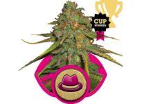 recenzja odmiany marihuany og kush