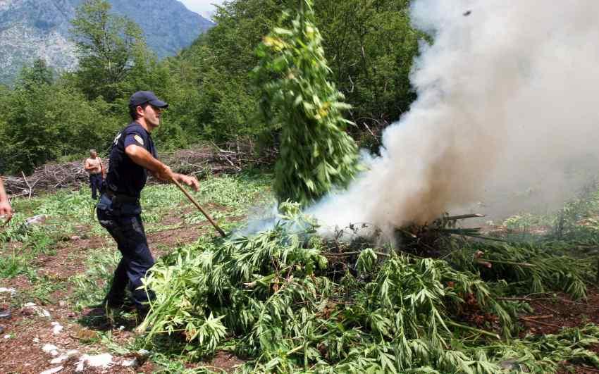 Policja w Albanii od czerwca zniszczyła 2,4 miliona roślin konopi indyjskich