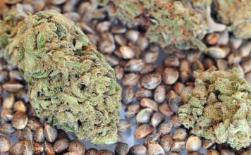 nasiona konopi mogą zapobiegać i leczyć nadciśnienie
