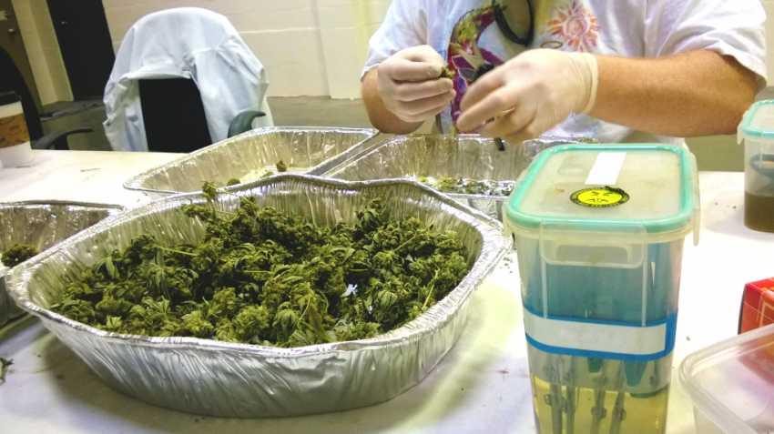 przemysł legalnej marihuany wygeneruje 300.000 nowych miejsc pracy