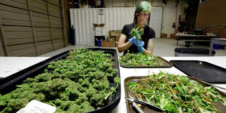 przemysł legalnej marihuany generuje nowe miejsca pracy