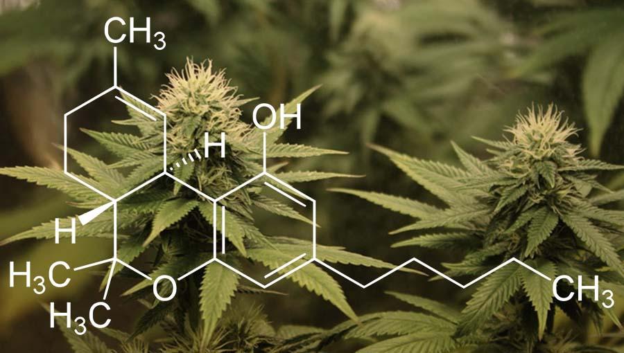 THC odwraca proces starzenia sie mozgu