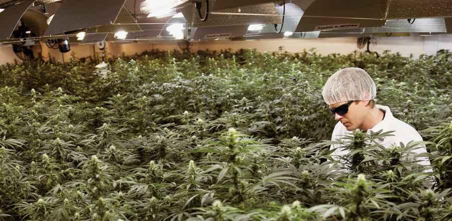 Tymczasowa praca przy uprawie marihuany w Niemczech