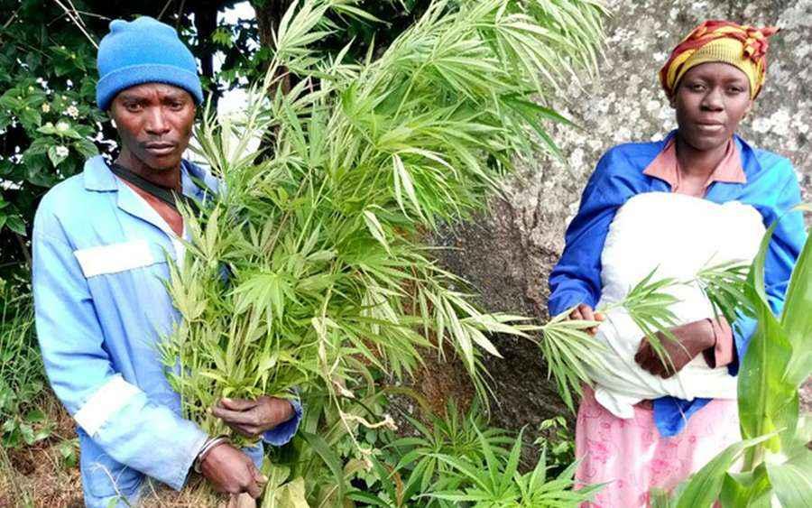 Zimbabwe zalegalizuje marihuane, aby przyciągnąć inwestorów