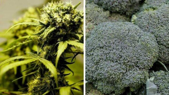 Diler sprzedawał brokuły zamiast marihuany. Teraz spędzi 16 lat w więzieniu