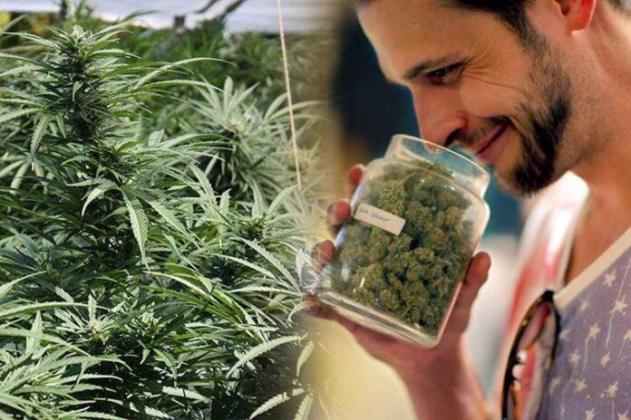 Krytyk marihuany - nowy kierunek studiów na University of Denver