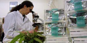 Uniwersytet w Michigan oferuje czteroletnie studia z zakresu marihuany