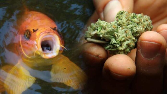 Naukowcy podawali rybom olej z THC, aby zmniejszyć ich agresję