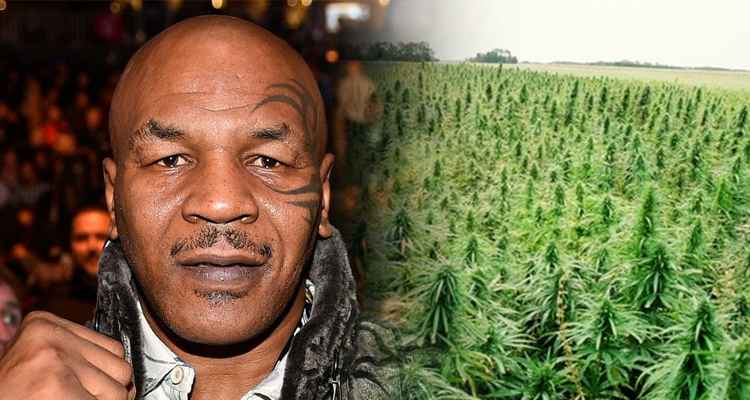 Mike Tyson kupił 16 hektarów ziemi w Kalifornii. Będzie na niej uprawiał marihuanę