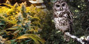 Sowy umierają w pobliżu nielegalnych upraw marihuany