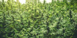 Oregon produkuje trzy razy więcej marihuany, niż może sprzedać