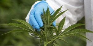 Zimbabwe legalizuje marihuanę do celów medycznych i naukowych