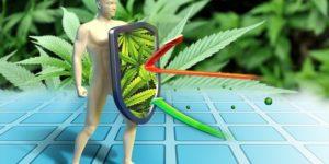 Czy używanie marihuany wpływa na układ odpornościowy?