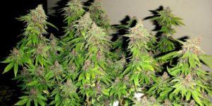 Automatycznie kwitnące odmiany marihuany – zalety i wady