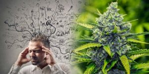 5 odmian marihuany używanych w walce ze stresem