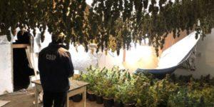 Czechy: Polacy wynajęli dom i uprawiali w nim marihuanę wartą prawie 2 miliony złotych