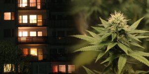 W mieszkaniu przez całą noc paliło się światło. Policja odkryła hodowlę marihuany