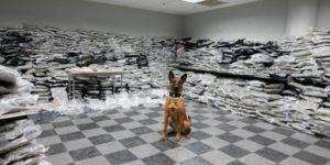 Pies policyjny wyczuł marihuanę wartą 10mln $. Jego zdjęcie jest hitem w sieci