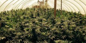 Pięć lat po legalizacji, Urugwaj produkuje za mało marihuany